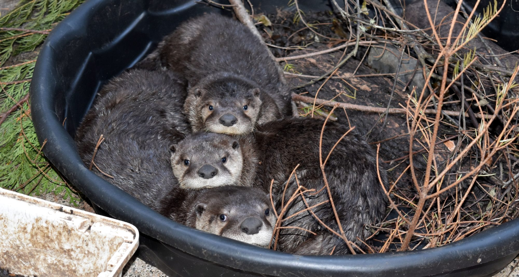 A Campaign Like No Otter Be There For Wild Release How To Build Nocturnal Animals Whisker Lady Ladysmith Was Orphaned After Her Mom Chased By Dog And Dropped While Cowby Cowichan Bay Found Covered With More Than One