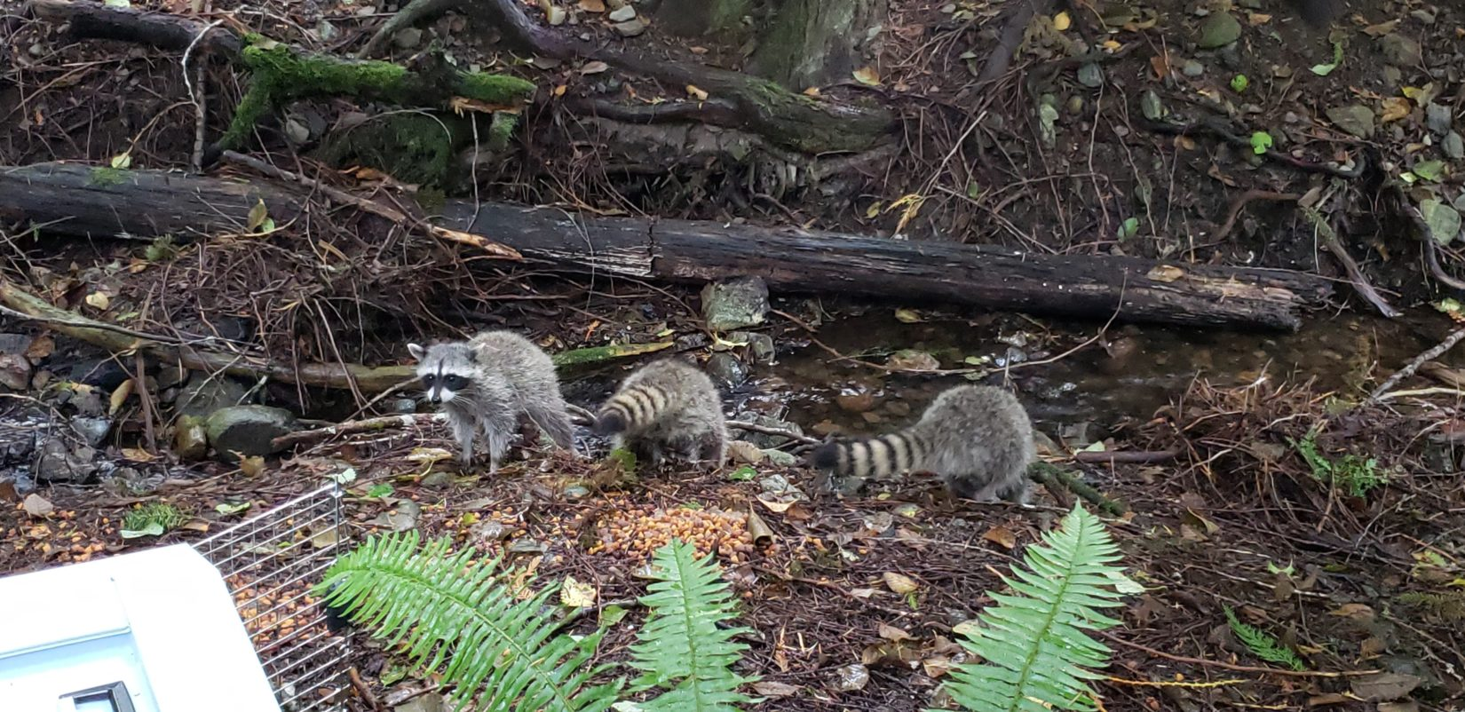 Three raccoons being released back to wild