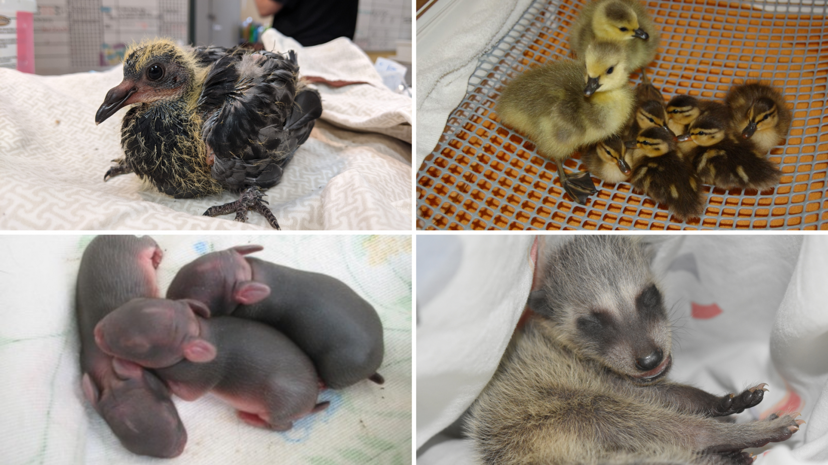 Collage of baby animals - pigeon, ducklings & goslings, newborn cottontail rabbits, baby raccoon