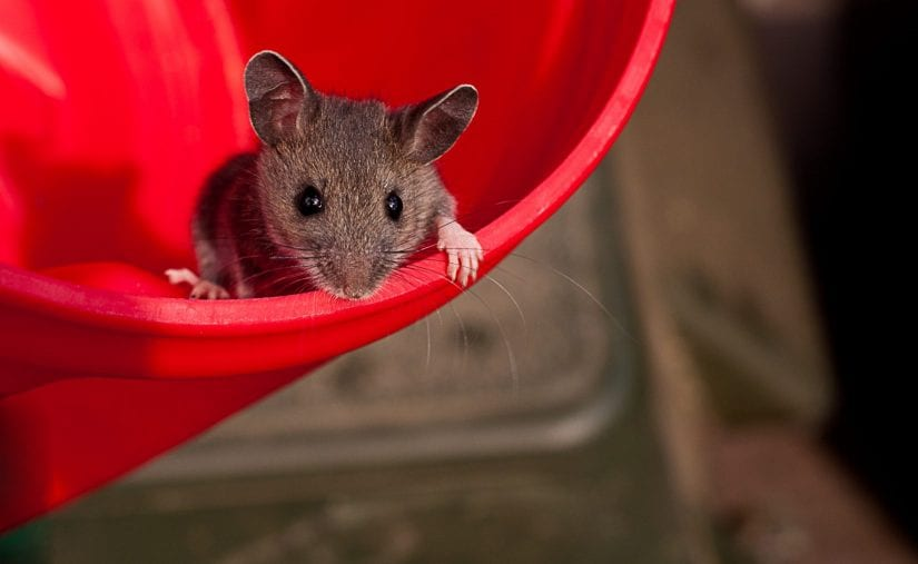 Cute wild mouse in red bucket