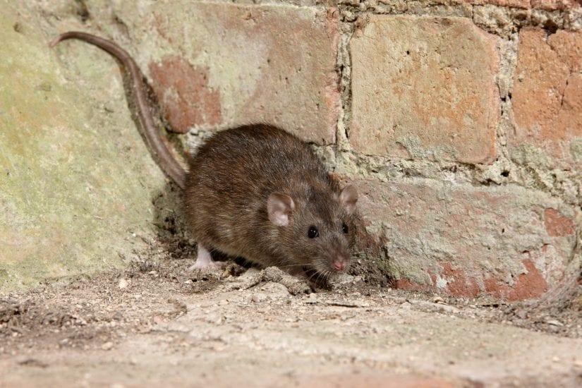 Norway rat on ground in brick corner