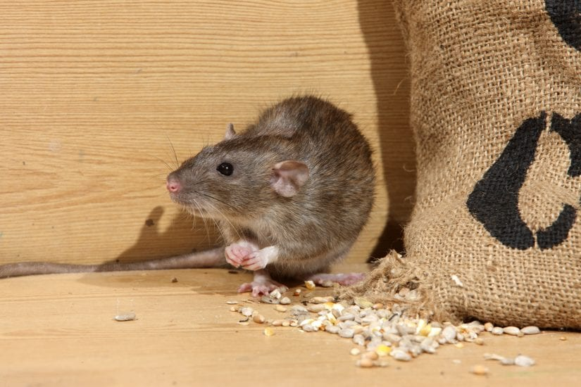 Norway rat by a spilling bag of grains