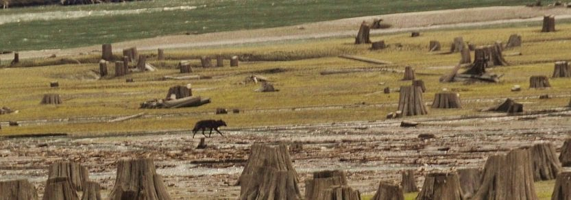 Wolf walking among cut trees