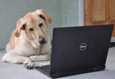 yellow dog on laptop