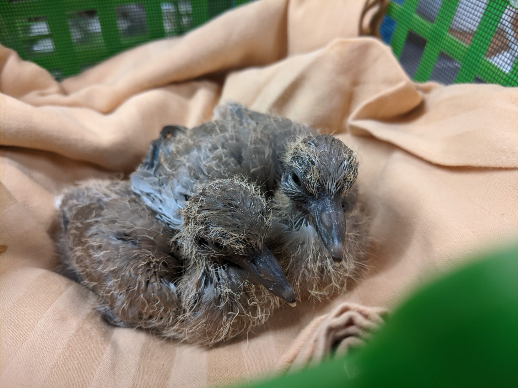 Young pigeons in care at Wild ARC